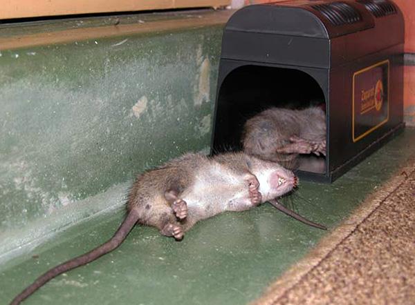 Annak érdekében, hogy a patkánycsapda továbbra is működjön, rendszeresen elengedni kell a megsemmisített rágcsálók testéből.
