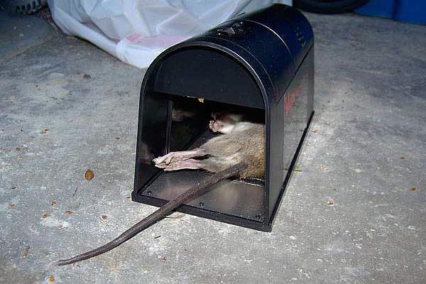 A készülék nagyfeszültségű árammal szinte azonnal megöli a patkányt.
