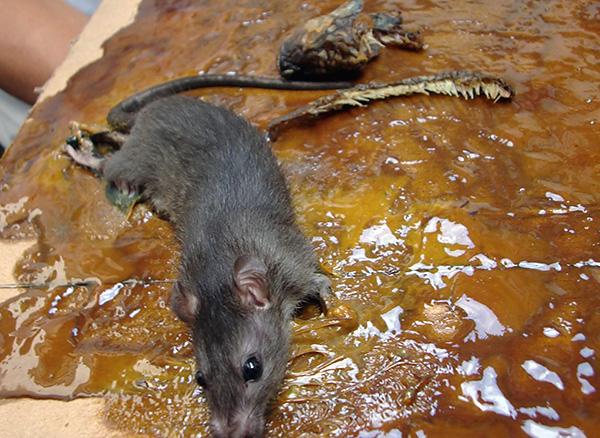 Az emberiség miatt nem kívánatos ragasztó és ragasztócsapdák használata patkányok és egerek pusztításakor.