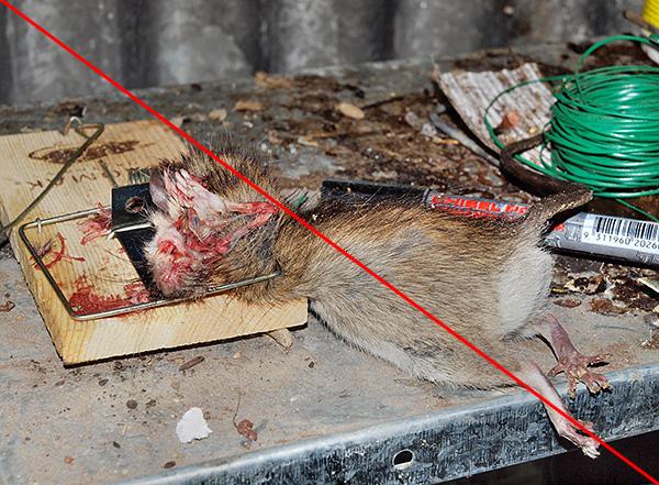 A fénykép a hagyományos mechanikus patkánycsapda eredményét mutatja - el kell fogadnia, hogy a kép nem a legkellemesebb.