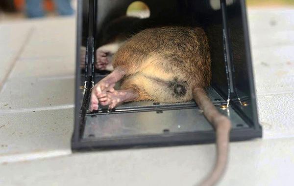 Holt patkány elektromos patkánycsapdában.