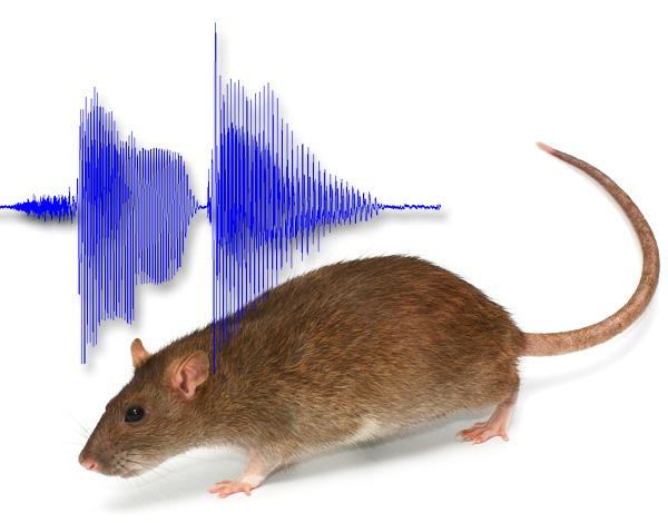 Bizonyos hangok segítségével a patkányok valóban félhetnek otthonról, de hogyan lehet ezt a gyakorlatban megvalósítani? ..