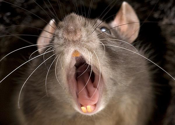 Kritikus helyzetben a patkány olyan hangokat ad, amelyek megijeszteni tudják rokonait.