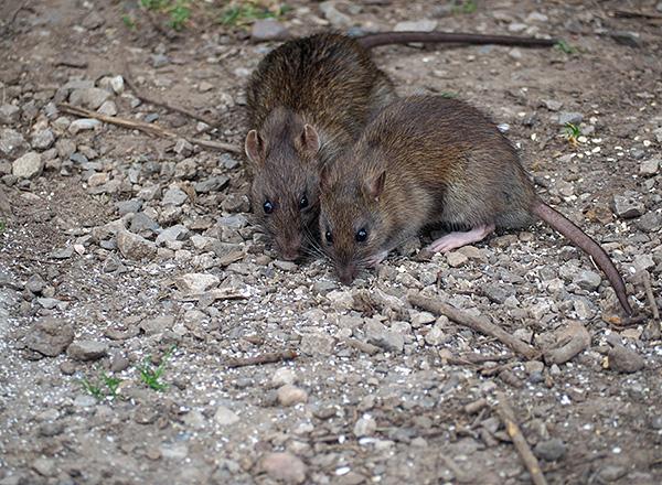 Amikor a patkányok és az egerek egymással kommunikálnak, aktívan használják az ultrahangos tartományt.