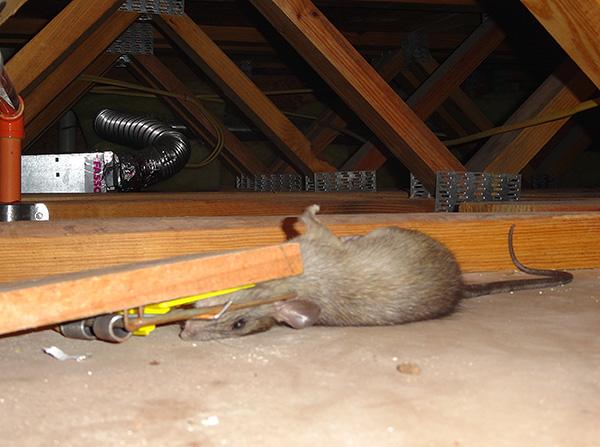 Nous découvrons quels types de pièges à rats existent ...