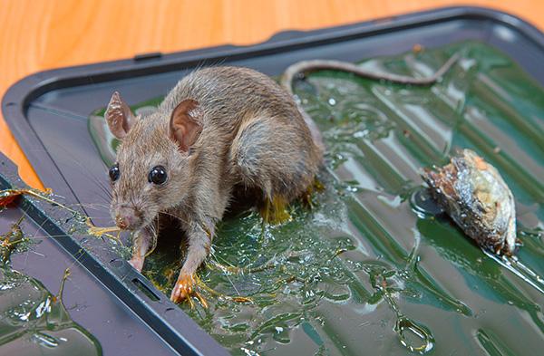 Un moyen peu coûteux de tuer les rats est d'utiliser des pièges à colle ...