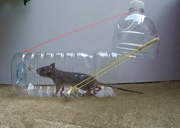 Fontolja meg a leghatékonyabb típusú patkánycsapdákat, amelyeket saját kezével gyorsan összeállíthat improvizált anyagokból ...