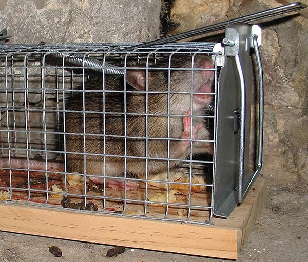 Patkánycsapda