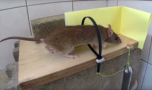 A patkányok fogásának erősségei saját kezükkel készíthetők egy kábelkötegből.