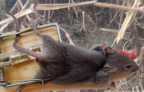 A patkány csapda-összetörésnek nagyon sokféle változata van, de a fém rugóval és a tartóval ellátott faszerkezet klasszikusnak tekinthető.