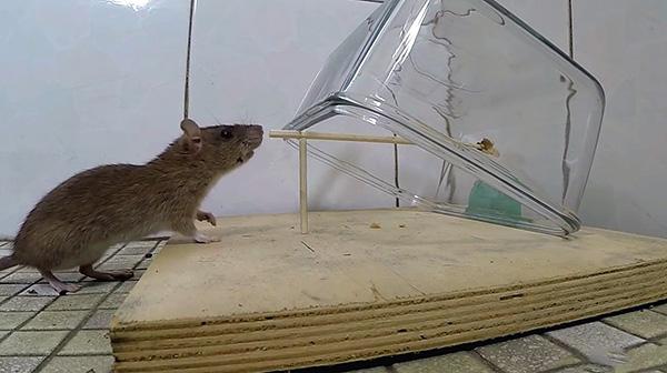 A képen a házi készítésű patkánycsapda egy példája látható - egy üvegtartály fedezi az állatot, amikor húzza a csalit.