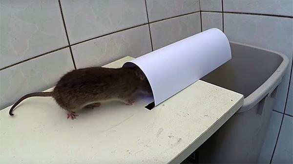 A patkány a csali mögött az alagútban mászik fel.