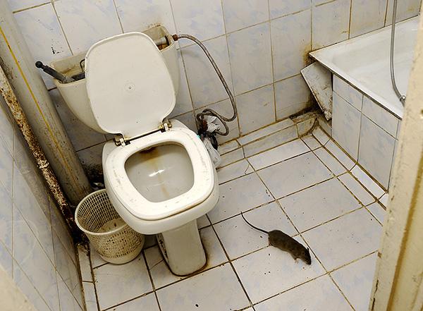 Megtudjuk, hogyan lehet még egy ravasz patkányt gyorsan és hatékonyan elkapni a házban ...