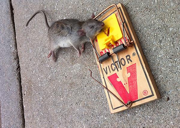 A patkánycsapda nagyobb, mint a szokásos egérfogó, és rugója erősebb.