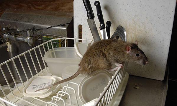 Sokkal gyorsabban foghat meg egy patkányt a megfelelő csali választással - és van itt néhány trükkö ...