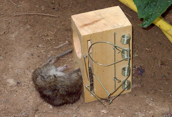 Ang homemade suffocating rat trap