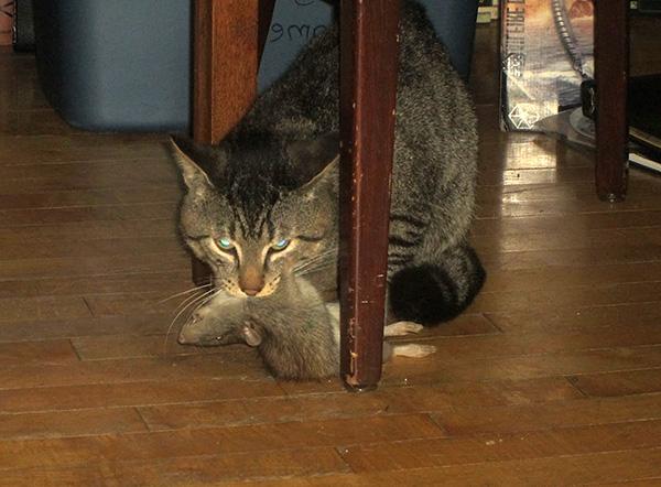 A patkányok elfogásának régi bizonyított módja egy macska vagy macska használata erre a célra.