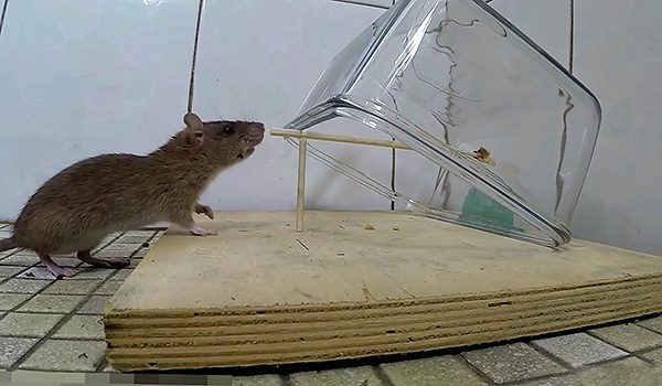 A meglehetősen nehéz tartálynak köszönhetően az instabil támaszon nyugszik egy patkány.