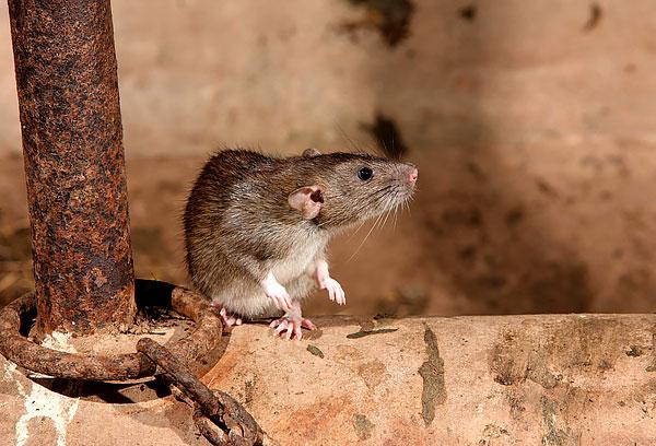 Megtudjuk, hogyan lehet hatékonyan kezelni a patkányokat a házban ...