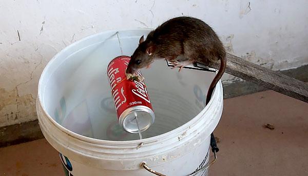 Az ilyen konstrukcióhoz tanácsos széles vödröt vagy hordót használni, hogy a patkány ne érje el a csalit a tartály szélétől, és az elülső mancsaival támaszkodjon a forgó tartóra.