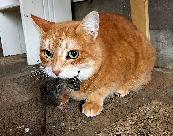 Egy jó macskacsapda napok alatt elkaphatja a ház összes rágcsálóját.