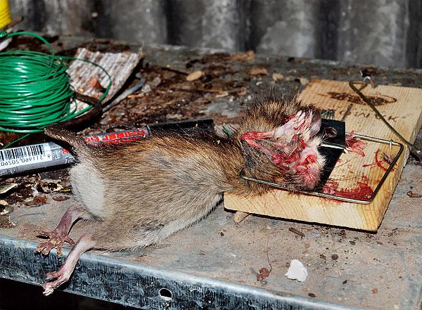 Ha egy ilyen eszköz szó szerint eltöri a patkányt, akkor a macskacsapda vagy a patkánycsapda könnyen megtörheti a mancsát.