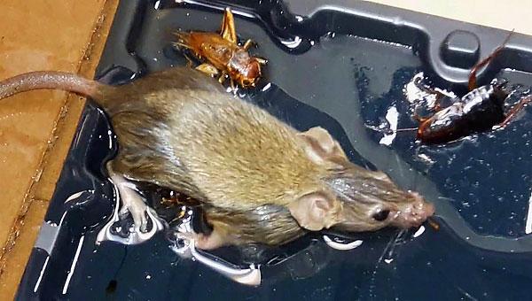 Egy ilyen csapda további hátránya, hogy el kell dönteni, hogy mit tegyen az egerekkel vagy patkányokkal, amelyek már beragadtak, de még nem haltak meg ...
