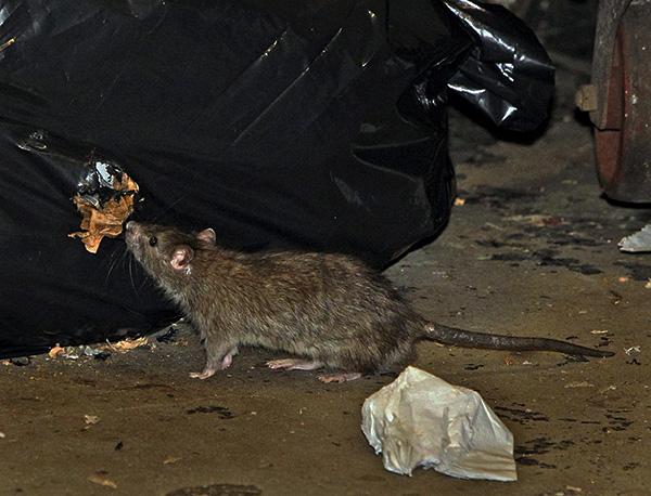 Maraming mga ultrasonic rodent repellers ang halos walang epekto sa kanila.