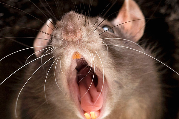 Sa pamamagitan ng, bukod sa iba pang mga bagay, ultratunog, ang mga rodents ay nagpapadala ng mahalagang impormasyon sa bawat isa.