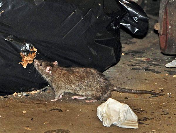 Kadalasan, upang mabilis na mapupuksa ang mga rodents, kapaki-pakinabang na pagsamahin ang iba't ibang mga pamamaraan at tool.