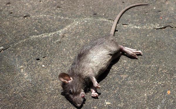 Ang paggamit ng rodenticides ay nagpapahintulot sa malawak na pagkawasak ng mga daga sa isang maikling panahon.